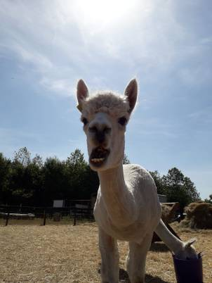 2018 - Aug alpaca