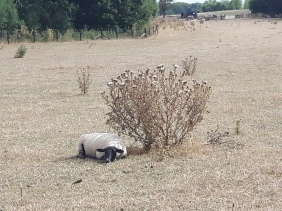 2018 - Aug dry in Longbottoms sheep