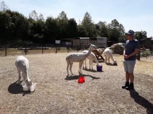 2018 - Aug with alpacas