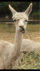2018 - July alpaca funny face 1