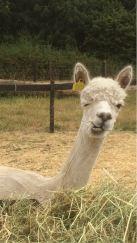 2018 - July alpaca funny face 2