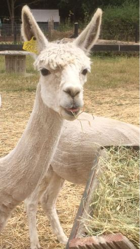 2018 - July alpaca funny face 3