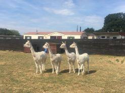 2018 - July alpacas 2